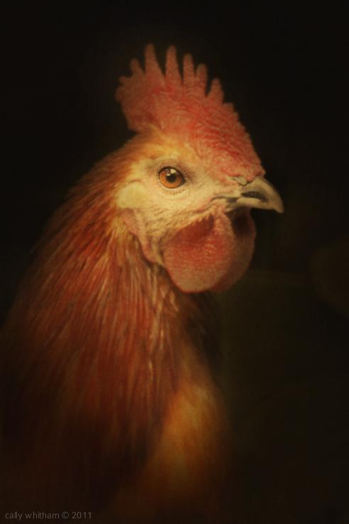 les poulets de cally whitham